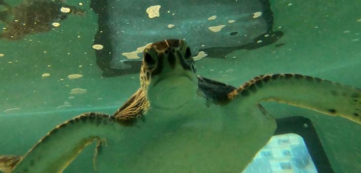 730 turtle